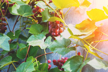 Red Wine Grapes On The Grapevi...