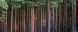 Leinwanddruck Bild - close-up of pine forest tree trunks, background with straight, brown trunks, branches with green needles at the top and left half