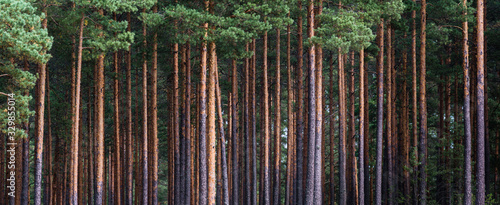 Obraz close-up of pine forest tree trunks, background with straight, brown trunks, branches with green needles at the top and left half - fototapety do salonu