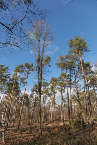 Fototapeta Pine forest in Europe obraz na płótnie