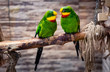 Beautiful couple of green parrots, sitting on branch in aviary