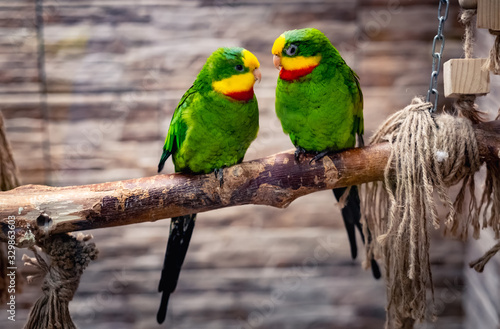 Obraz Beautiful couple of green parrots, sitting on branch in aviary - fototapety do salonu