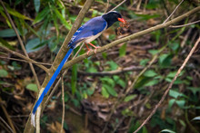 Long Tail Blue Magpie Bird On Tree Branch