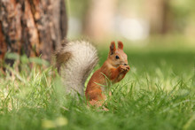 Young Squirrel In The Forest