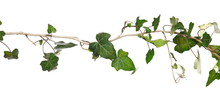 Wild Green Liana Jungle Vine With Foliage Isolated On White Background, Clipping Path