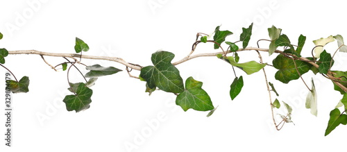 Wild green liana jungle vine with foliage isolated on white background, clipping Canvas Print