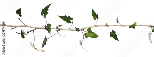 Wild green liana jungle vine with foliage isolated on white background, clipping Wallpaper Mural