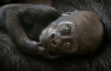 Cute Baby Gorilla, Male