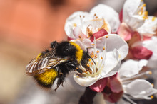 Bumblebee Pollinating White Flowers Of Peach Tree In Spring Orchard. Bumblebee On Peach In Full Blossom, Natural Spring Background