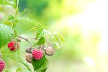 Ripe Raspberry In The Fruit Ga...