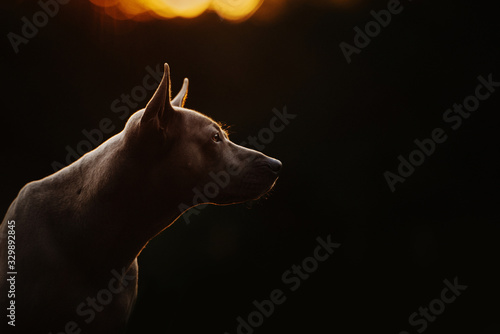 Obraz thai ridgeback dog portrait in summer at sunset - fototapety do salonu