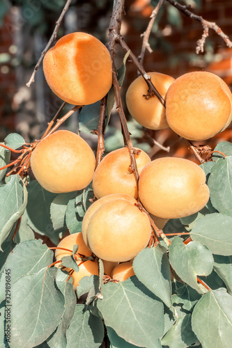 Orange apricots on a branch among green foliage, photo toned Wallpaper Mural