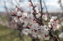 Aprikosenblüten Reifen Im Son.