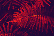 Tinted Tropical Leaves In The Red Color. Natural Red And Blue Background Leaves Of Decorative Fern In The Tropics. Dark Background Of Ferns