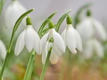 Snowdrop Or Common Snowdrop (G...