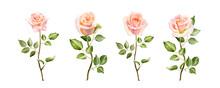 Watercolor Tender Blush Roses ...
