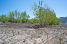 Along The Banks Of The Truckee River, Rows Of Willow Plantings For Wetland Habitat Restoration Fill Space Left After Invasive Tamarisk Tree Removal.