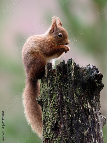 fototapeta na drzwi i meble Red squirrel, Sciurus vulgaris
