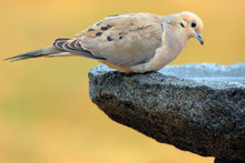 Mourning Dove (Zenaida Macroura) 0836