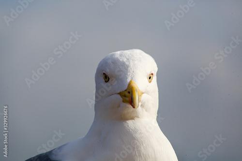 Fototapeta Close up view of seagull. Portrait of a sea bird .