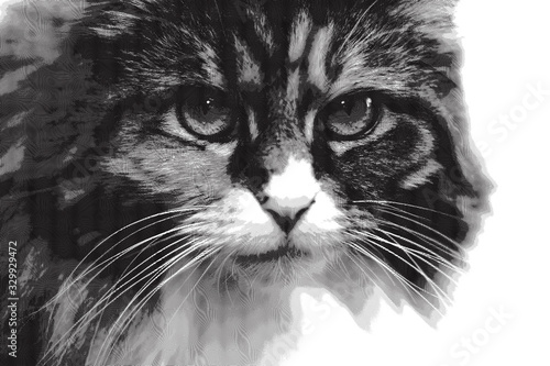 Engraved Illustration of Maine Coon Cat