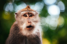 Macaque Monkey In Monkey Fores...