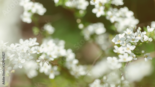 Fototapety, obrazy: Cerasus besseyi L.H.Bailey Lunell white small flowers on branches. Dwarf cherry blossoms in spring. The background for spring screensaver. Spring time concept
