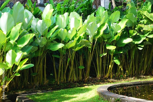 Tall tropical broadleaf plants form a natural horizontal background texture in B Fototapet