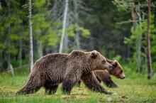 Brown Bears Walking On The Swa...