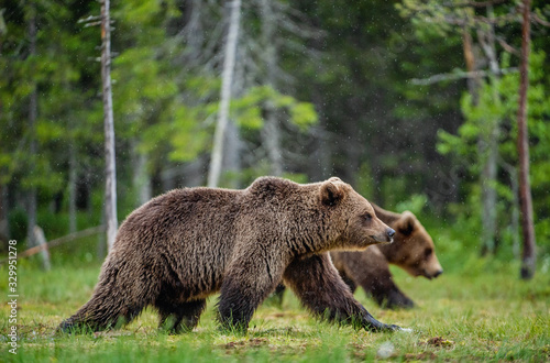 Carta da parati Brown bears walking on the swamp in the summer forest