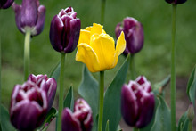 A Bed Of Purple Tulips And One...