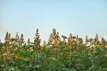 Ricinus Communis (the Castorbean Or Castor-oil-plant). Green Castor Oil Plant On The Tree...