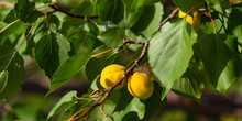 The Fruits Of The Apricot Tree...