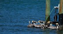 Pelicans Waiting For Scraps Fr...