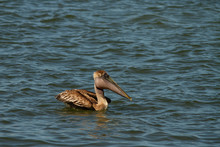 Pelican On The Water