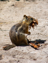 Ground Squirrel Carrying A Gig...