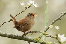A Beautiful Singing Wren Perch...