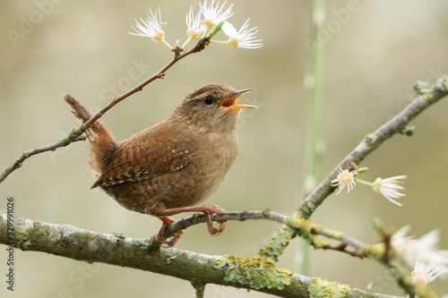 Obraz na plátně A beautiful singing Wren perched on a blackthorn tree in blossom.