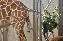 Baby Giraffe Is Giving Birth On The Land