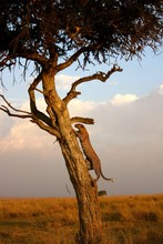 Close-up Of Leopard Climbing Tree In Forest