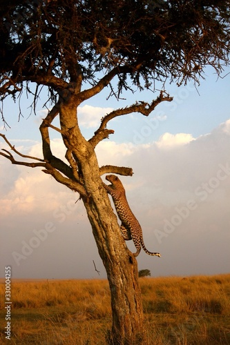 Canvas-taulu Close-up Of Leopard Climbing Tree In Forest