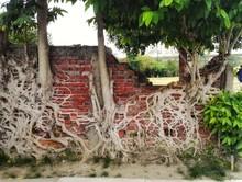 Beautiful Roots Growing On Bri...