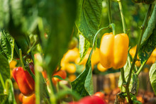Yellow Bell Pepper Plant Growi...