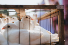 White Domestic Pigeons Sit In ...