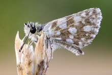Close Up Of A Checkered Skipper  Butterfly On  The Top Of A Wild Plant