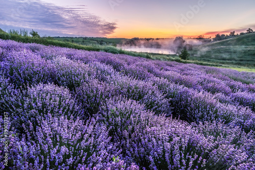Fototapeta Colorful flowering lavandula or lavender field in the dawn light. obraz