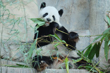 A Playful Panda Is Eating Bamb...