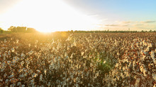 Wide Field Of Ripe Cotton At S...
