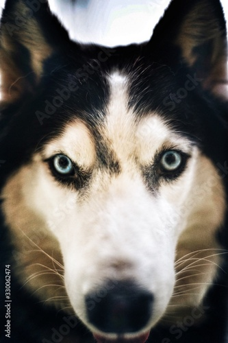 Fototapeta Close-up Portrait Of Siberian Husky