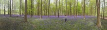 Panoramic View Of Woman Standing Amidst Purple Flowers In Woodland